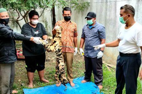 KLHK dan Polda Aceh Ringkus Penjual Kulit Harimau